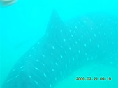 Dosonl 與鯨鯊共游:DSCN4889.JPG