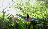 2014/08/17白石山艷紅鹿子百合:DSC03354.JPG