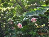 2014/08/17白石山艷紅鹿子百合:DSC03358.JPG