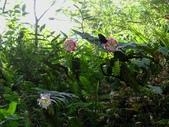 2014/08/17白石山艷紅鹿子百合:DSC03353.JPG