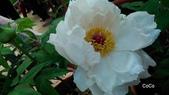 2015杉林溪牡丹花季 洛陽牡丹花爭艷:2015杉林溪牡丹花季