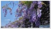 紫藤花~一日遊景點:DSC_0190.jpg