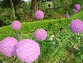 我的花花世界:日本繡球花