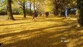 日本東京昭和公園~銀杏並木大道:051.jpg
