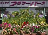 日本栃木縣足利市 足利花公園黃 藤花展&嬌豔玫瑰:日本足利市花公園黃藤&嬌豔玫瑰