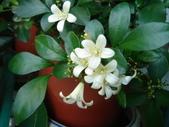 我的花花世界:清香七里香