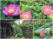 台北植物園  賞荷花:-4.jpg