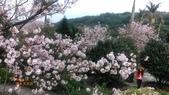 2018 淡水無極天元宮賞櫻花:DSC_0107.jpg