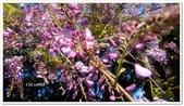 紫藤花~一日遊景點:DSC_0211.jpg