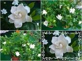 我的花花世界:我家的梔子花開了