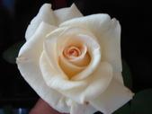我的花花世界:香檳色玫瑰