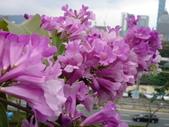 我的照片:花團錦簇~蒜香藤