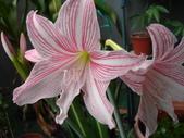 我的花花世界:孤挺花