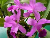 我的花花世界:盛開的嘉得麗亞蘭花