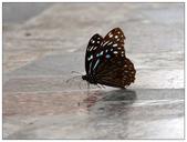 蝴蝶100:P8220164.jpg