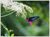 蝴蝶100:O8170138.jpg