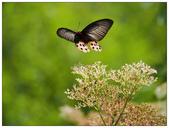 蝴蝶100:O8180770.jpg