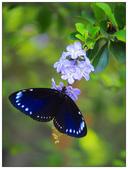 蝴蝶100:P5080261_1.jpg