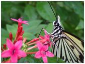 蝴蝶100:PB150139.jpg
