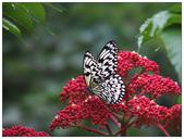 蝴蝶100:PB150167.jpg