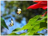 蝴蝶100:PC140572.jpg