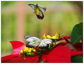 蝴蝶100:PC140073.jpg