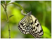 蝴蝶100:P9194229.jpg