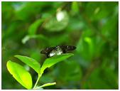 蝴蝶100:PB270352.jpg