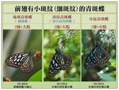 蝴蝶100:20190109青斑蝶辨識_小斑點_3.jpg