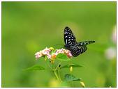 蝴蝶100:P8060026.jpg
