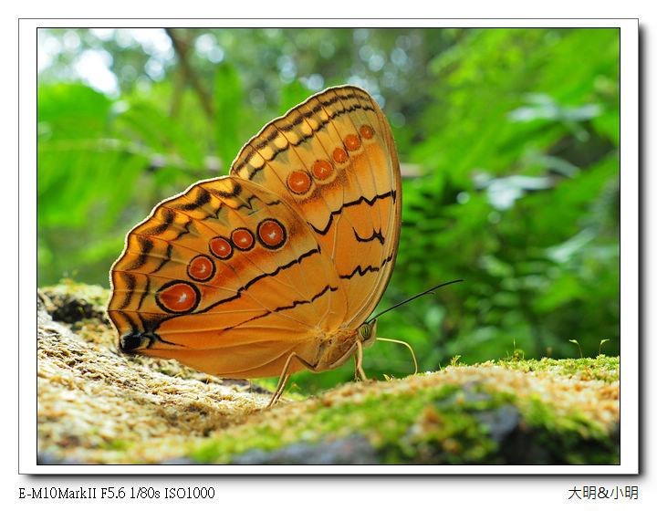蝴蝶100:P6090020_title.jpg