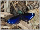 蝴蝶100:PB060245.jpg