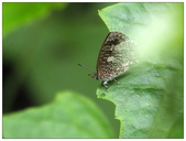 蝴蝶100:PB010158_1.jpg