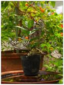 蝴蝶100:PA014996.jpg