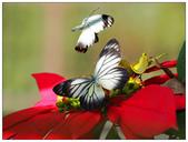 蝴蝶100:PC140051_1.jpg