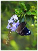 蝴蝶100:P5080282.jpg