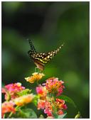 蝴蝶100:P8101465.jpg