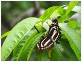 蝴蝶100:P4230125.jpg