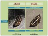 蝴蝶100:20181029台灣三線蝶寬紋三線蝶.jpg