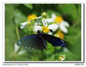 蝴蝶100:PA030024.jpg