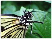 蝴蝶100:PB150153_tg3.jpg