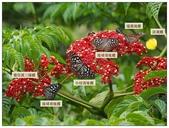 蝴蝶100:20161013小紋淡紋琉球青斑蝶_3_7254.jpg