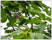 蝴蝶100:P4230121.jpg