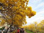 嘉義親水公園黃金風鈴木:IMG_6679.JPG