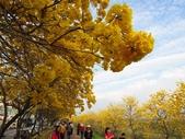 嘉義親水公園黃金風鈴木:IMG_6681.JPG