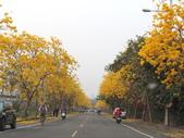 嘉義親水公園黃金風鈴木:IMG_7272.JPG