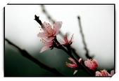 初二_角板山桃花開:DSC_2540