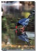 臺灣國寶 藍鵲:DSCF0572