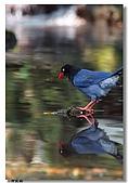 臺灣國寶 藍鵲:DSCF0573