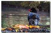 臺灣國寶 藍鵲:DSCF0575